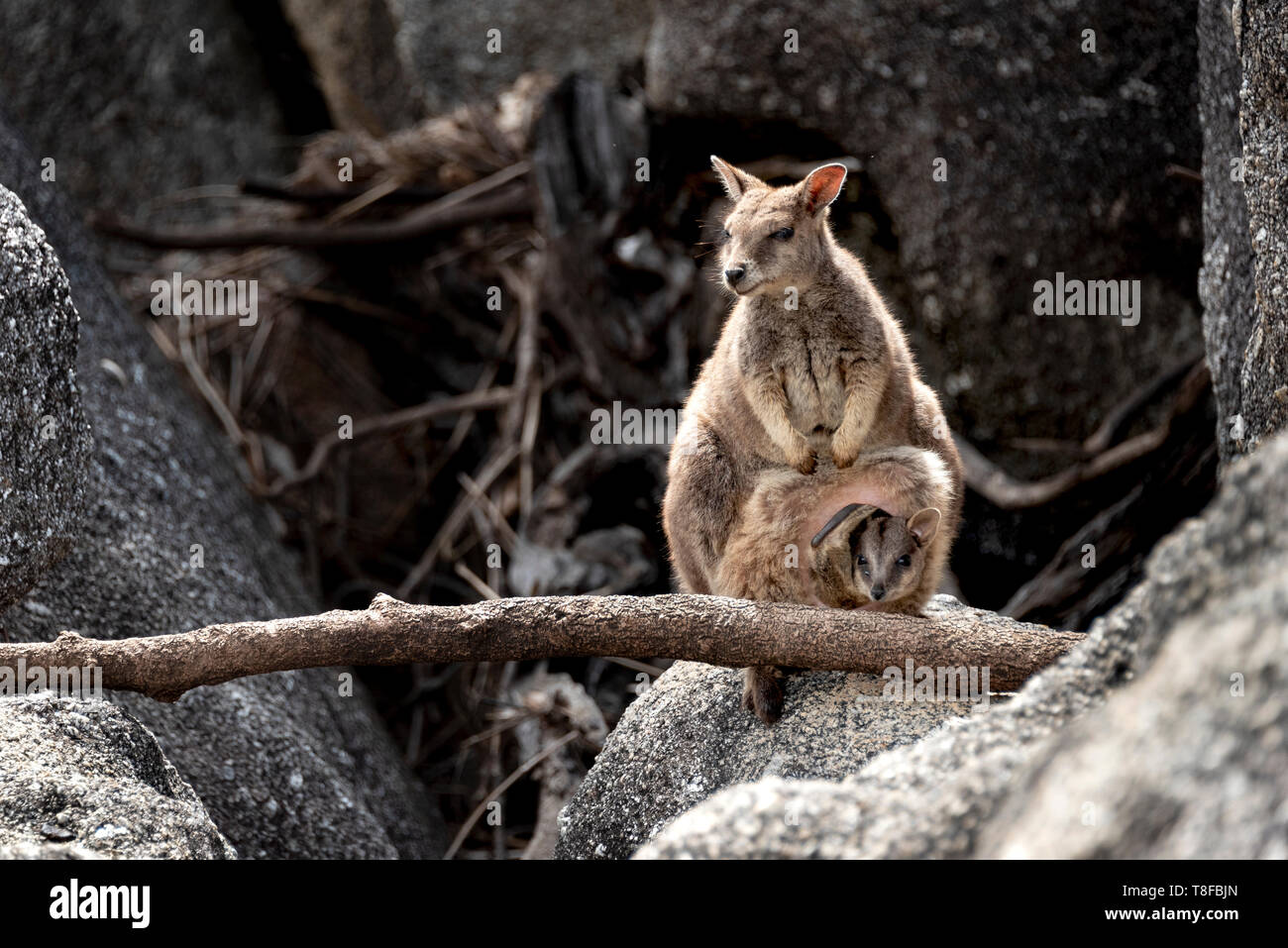 Wallaby with big joey onboard Stock Photo