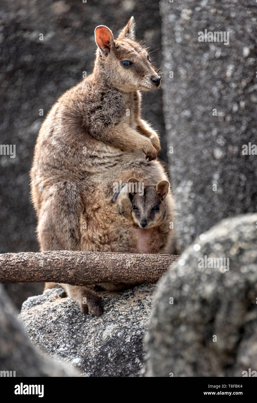 Rock wallaby with baby in pouch Stock Photo