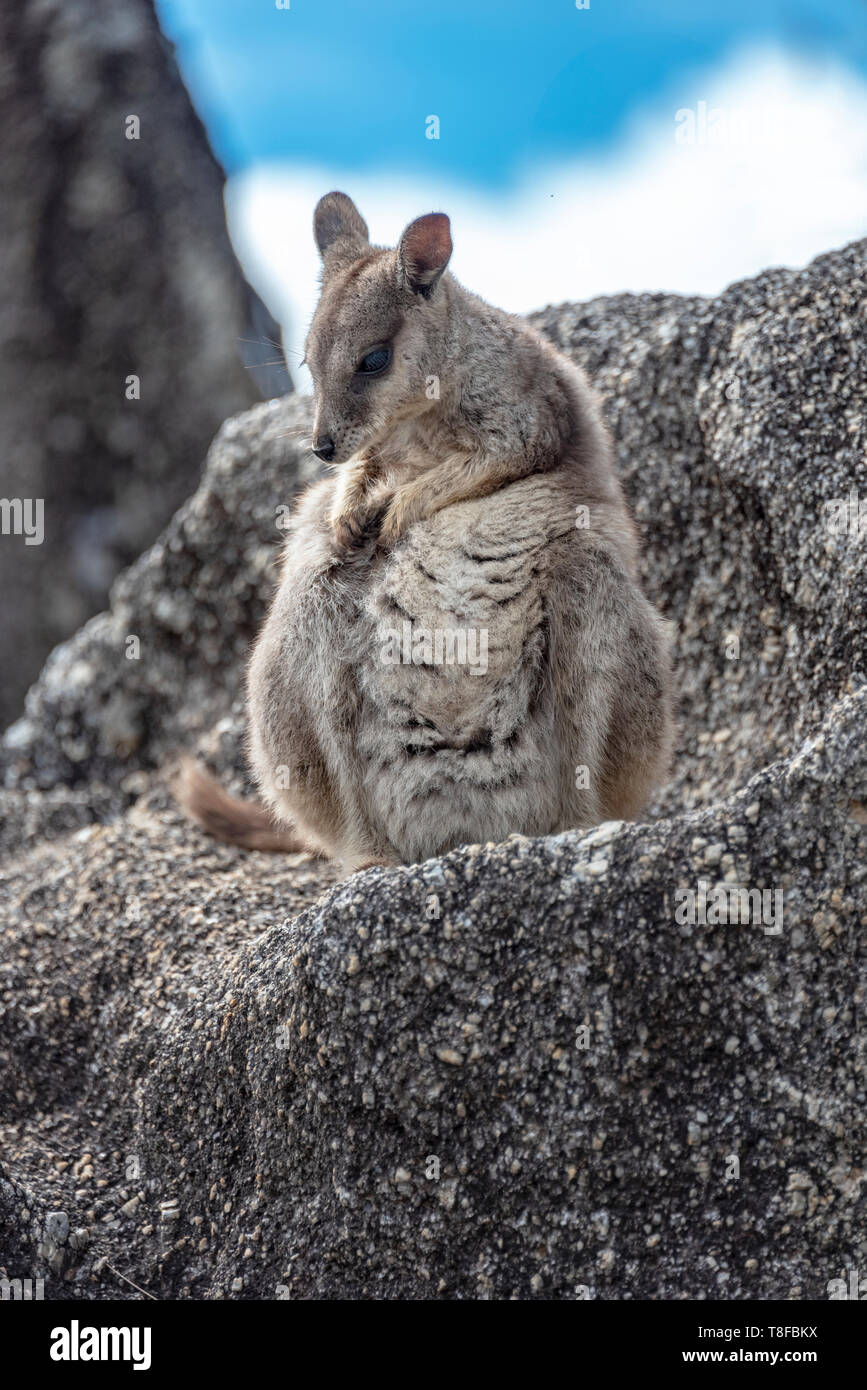 Unadorned rock wallaby with an itch Stock Photo