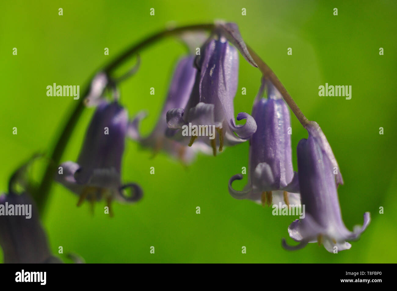 Close up of a Bluebell in my local park, Snuff Mills, Bristol. - Stock Image
