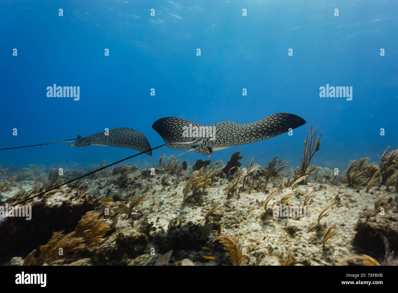Pair of giant spotted eagle rays, ,Aetobatus narinari,  glide across colorful coral reef displaying intricate pattern on their backs Stock Photo