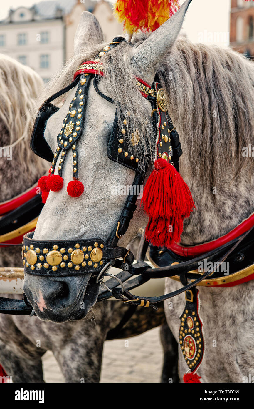 Horse with grey mane, harness, feather, pompon, brass decoration in square in krakow, poland. Ride, tour, sightseeing travel concept - Stock Image