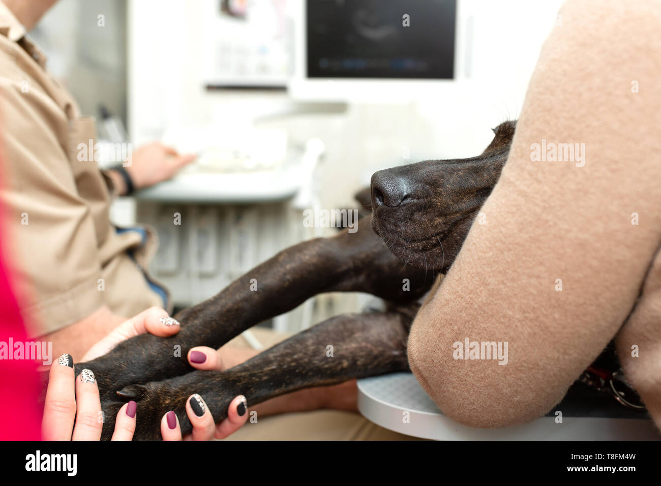 Doctor veterinarian makes an ultrasound and cardiogram of the heart of a dog in the office of a veterinary clinic. - Stock Image