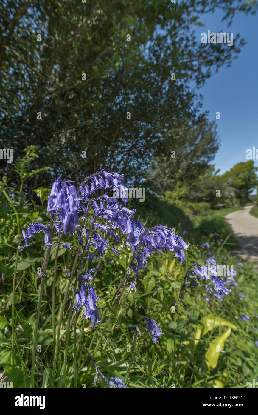 Mass of Bluebells / Endymion non-scriptus growing alongside a rural country lane in Spring sunshine. Metaphor sunny UK country lane. - Stock Image