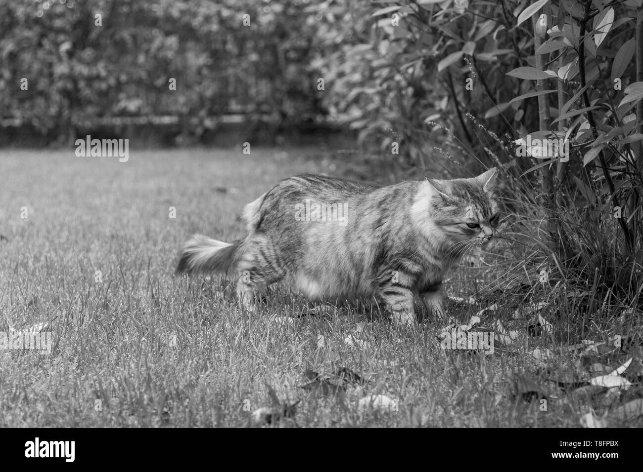 Curious cat with long hair outdoor in a garden, siberian purebred kitten - Stock Image