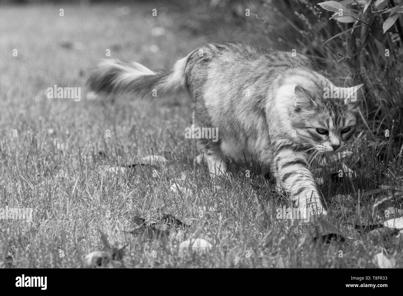 Beautiful cat with long hair outdoor in a garden, siberian silver kitten - Stock Image