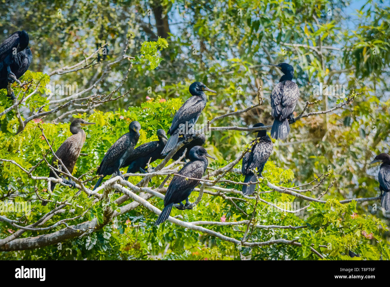 Group Of Darter Birds Sitting On A Tree - Stock Image