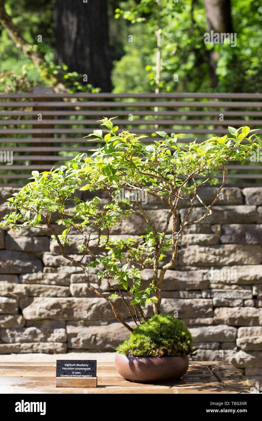 Highbush Blueberry Bonsai Vaccinium Corymbosum Age 15 Years At Portland Japanese Garden In Portland Oregon Usa Stock Photo Alamy