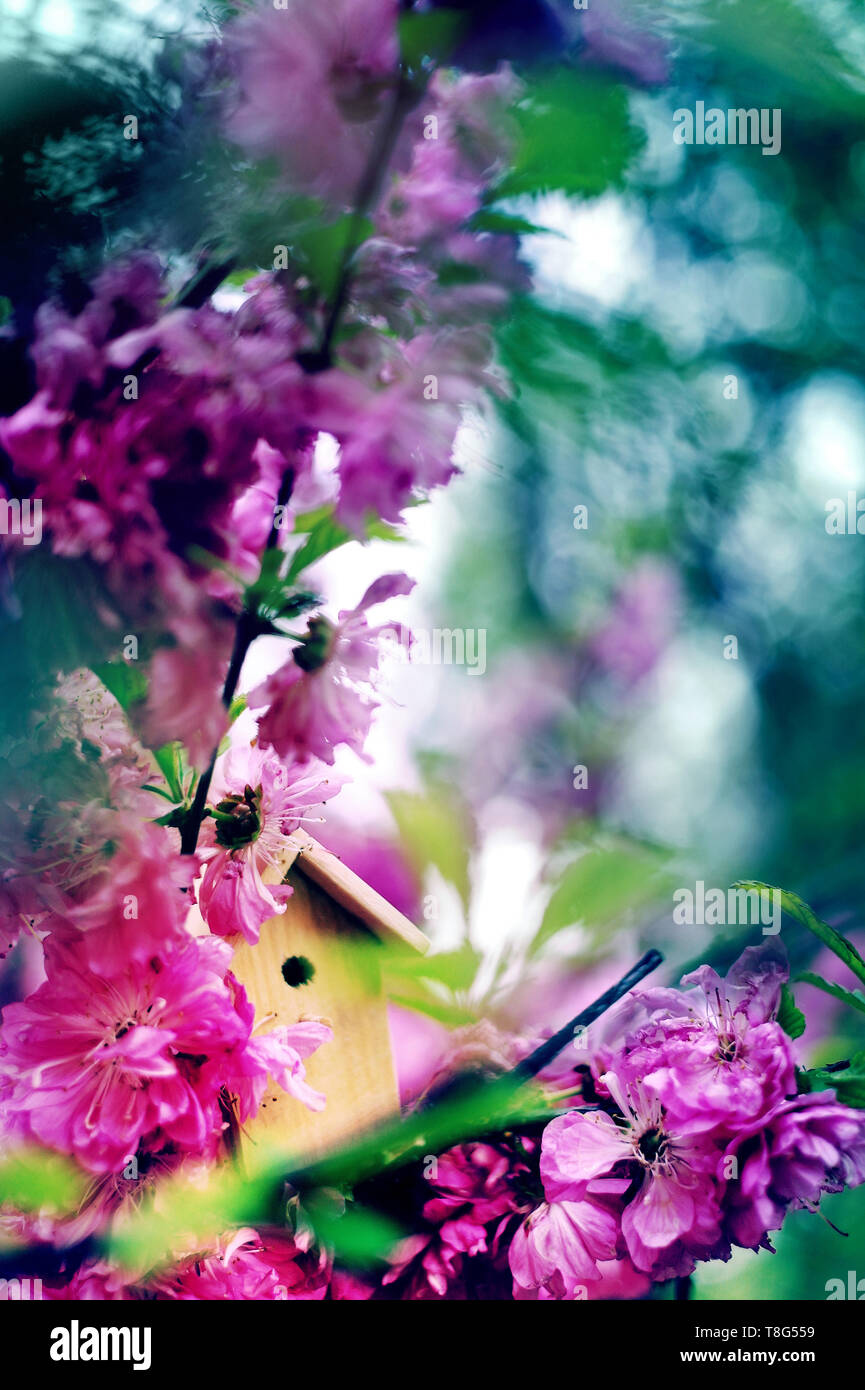 Birdhouse on a blooming almond tree, tiny nesting box in spring flowers. Creative spring photography with copy space. House buying concept - Stock Image