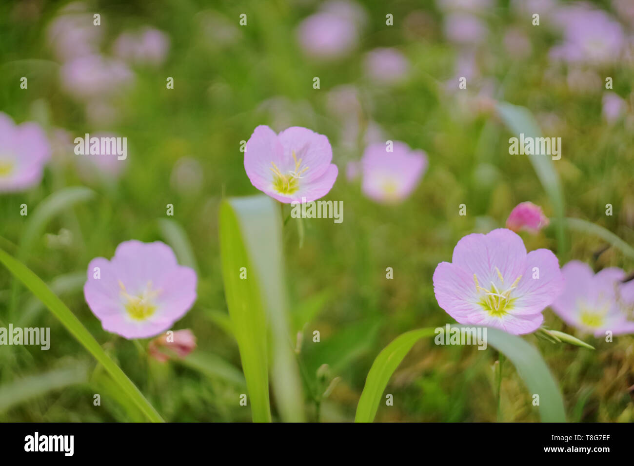 Close up picture of 3 Pink Evening Primrose flowers taken at