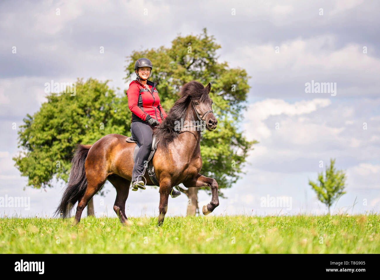 Icelandic Horse. Black mare being ridden at a toelt. Austria - Stock Image