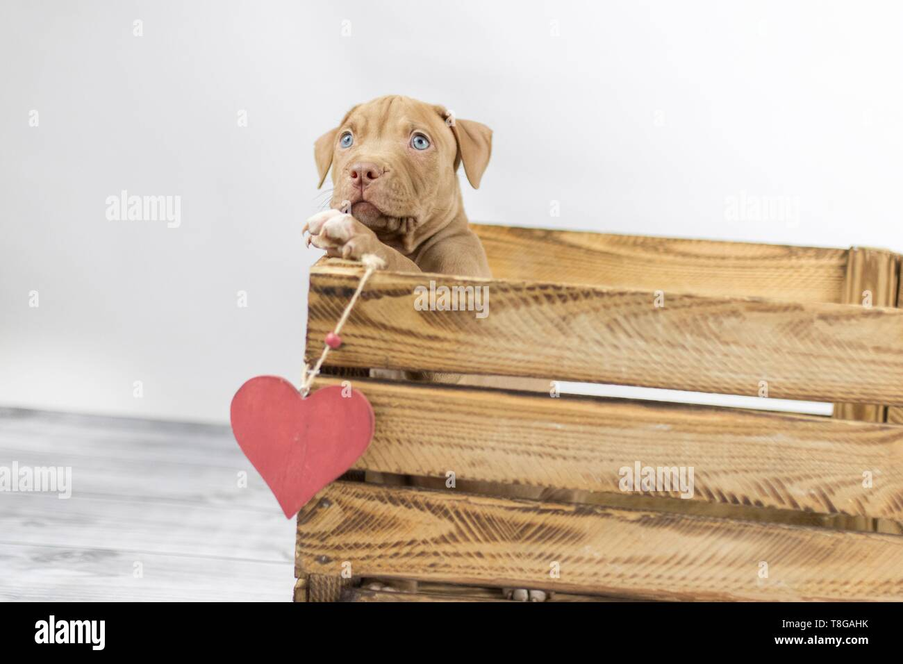 American Pit Bull Terrier - Stock Image