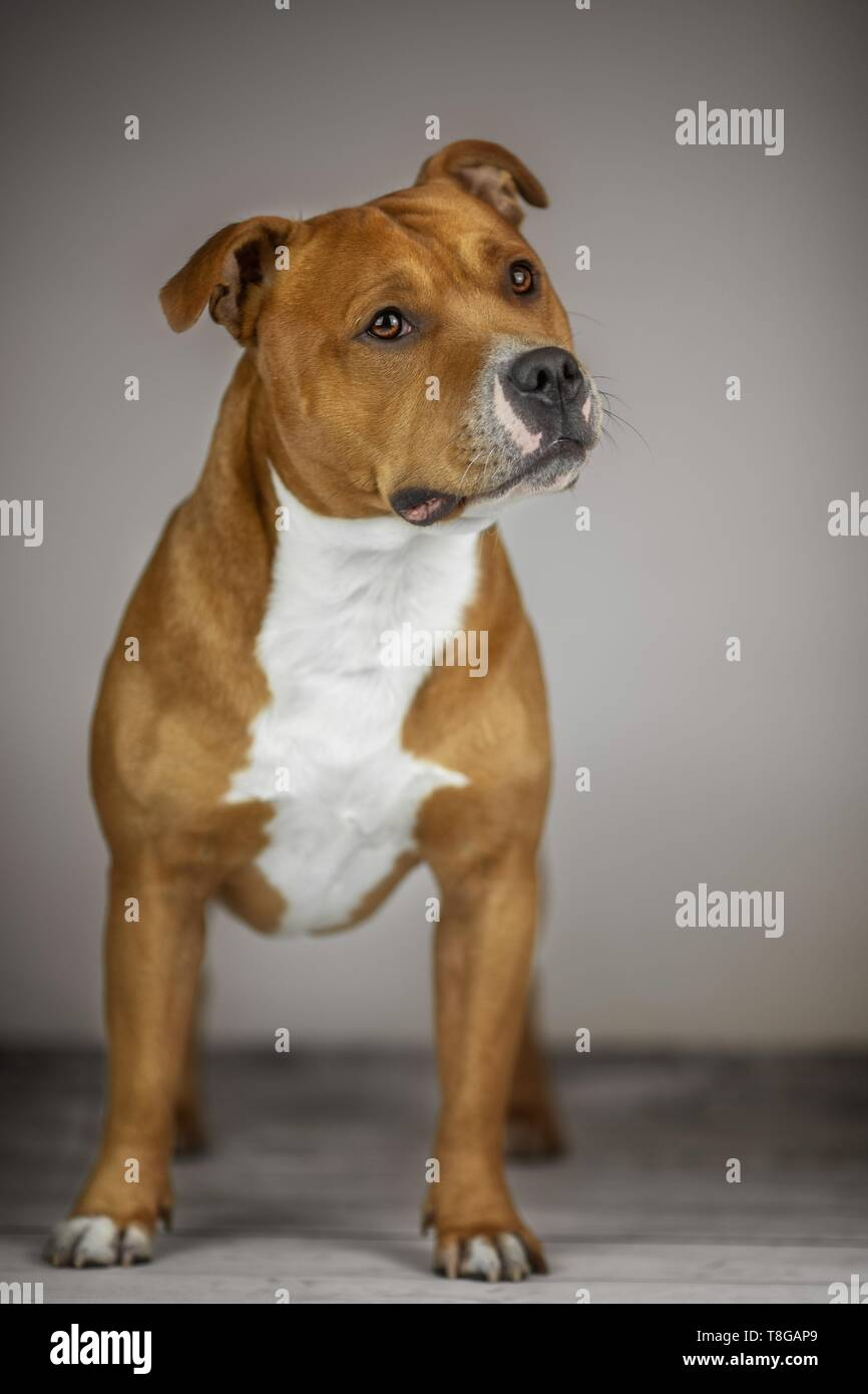 standing Staffordshire Terrier - Stock Image