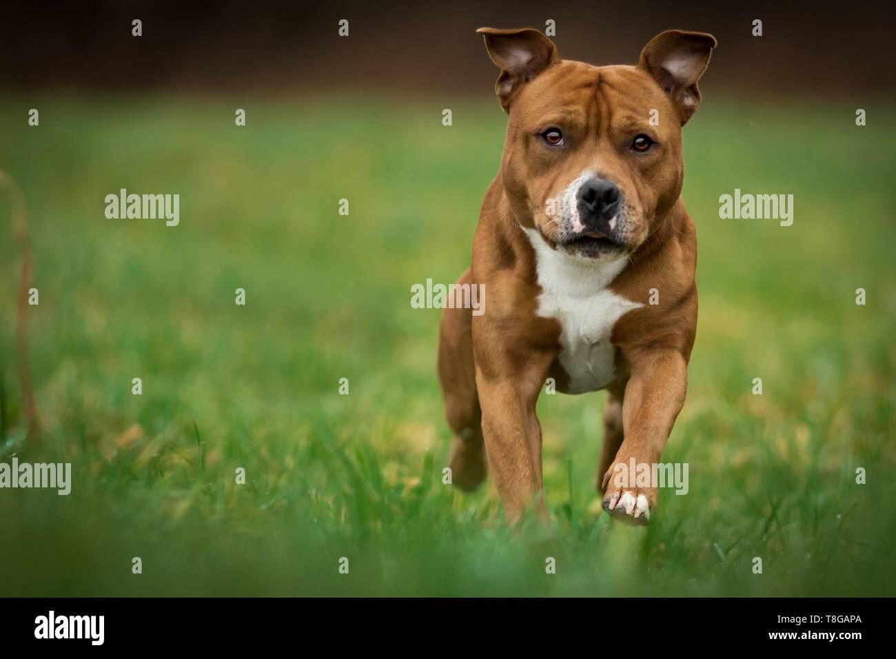 running Staffordshire Bullterrier - Stock Image