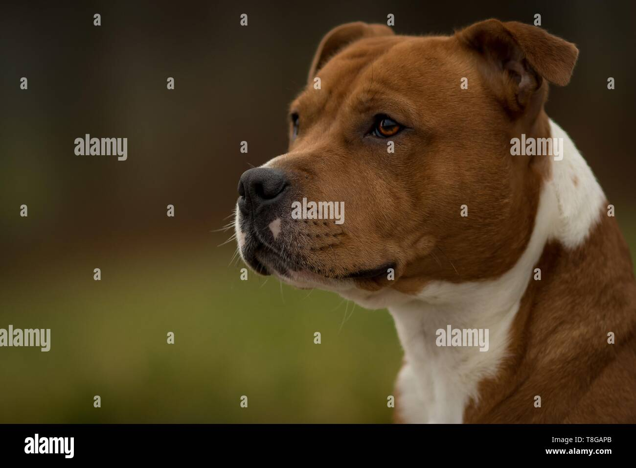 Staffordshire Bullterrier Portrait - Stock Image