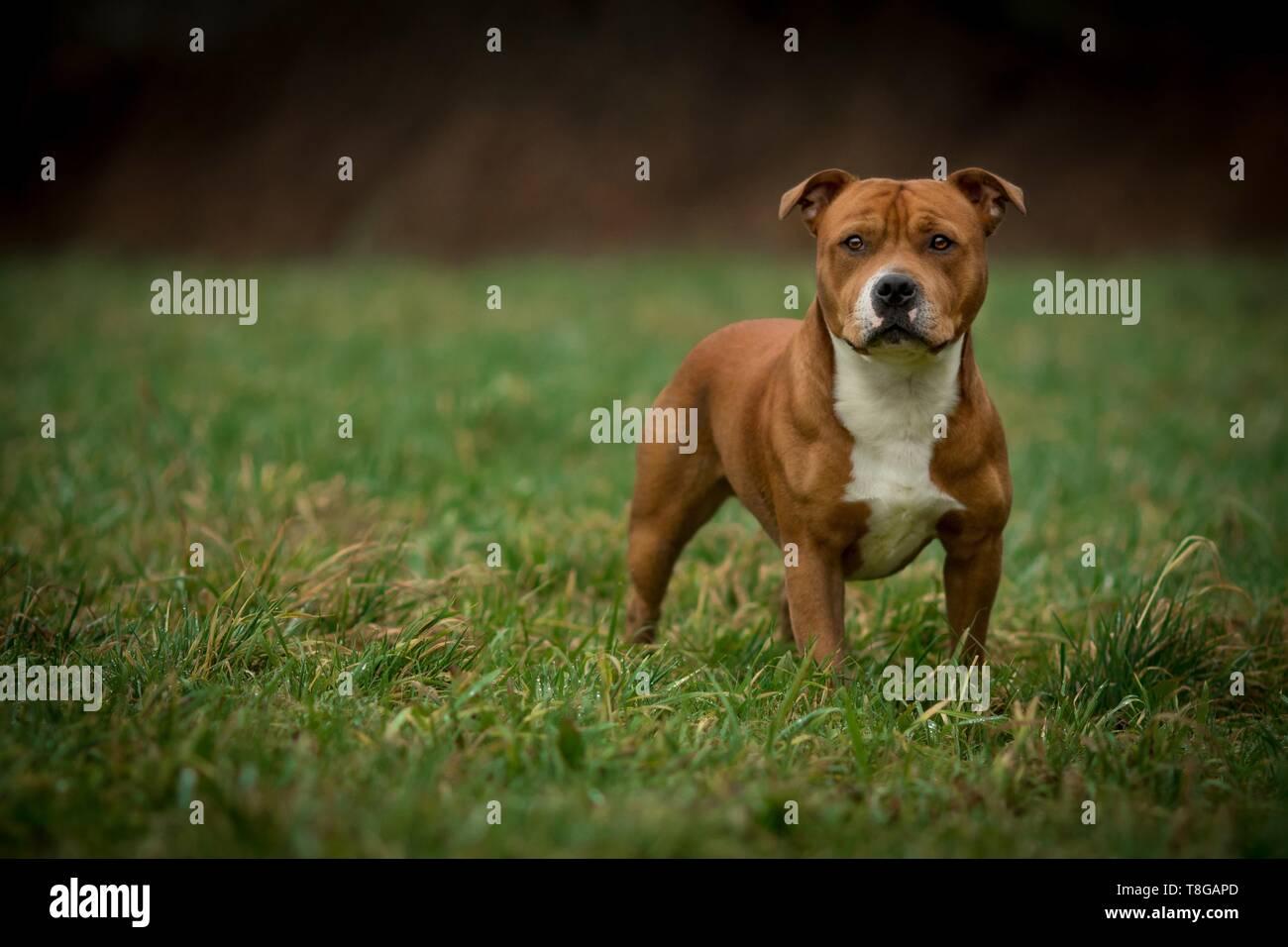 standing Staffordshire Bullterrier - Stock Image