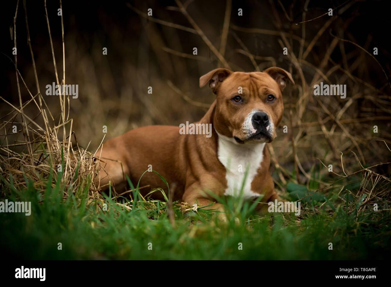 lying Staffordshire Bullterrier - Stock Image