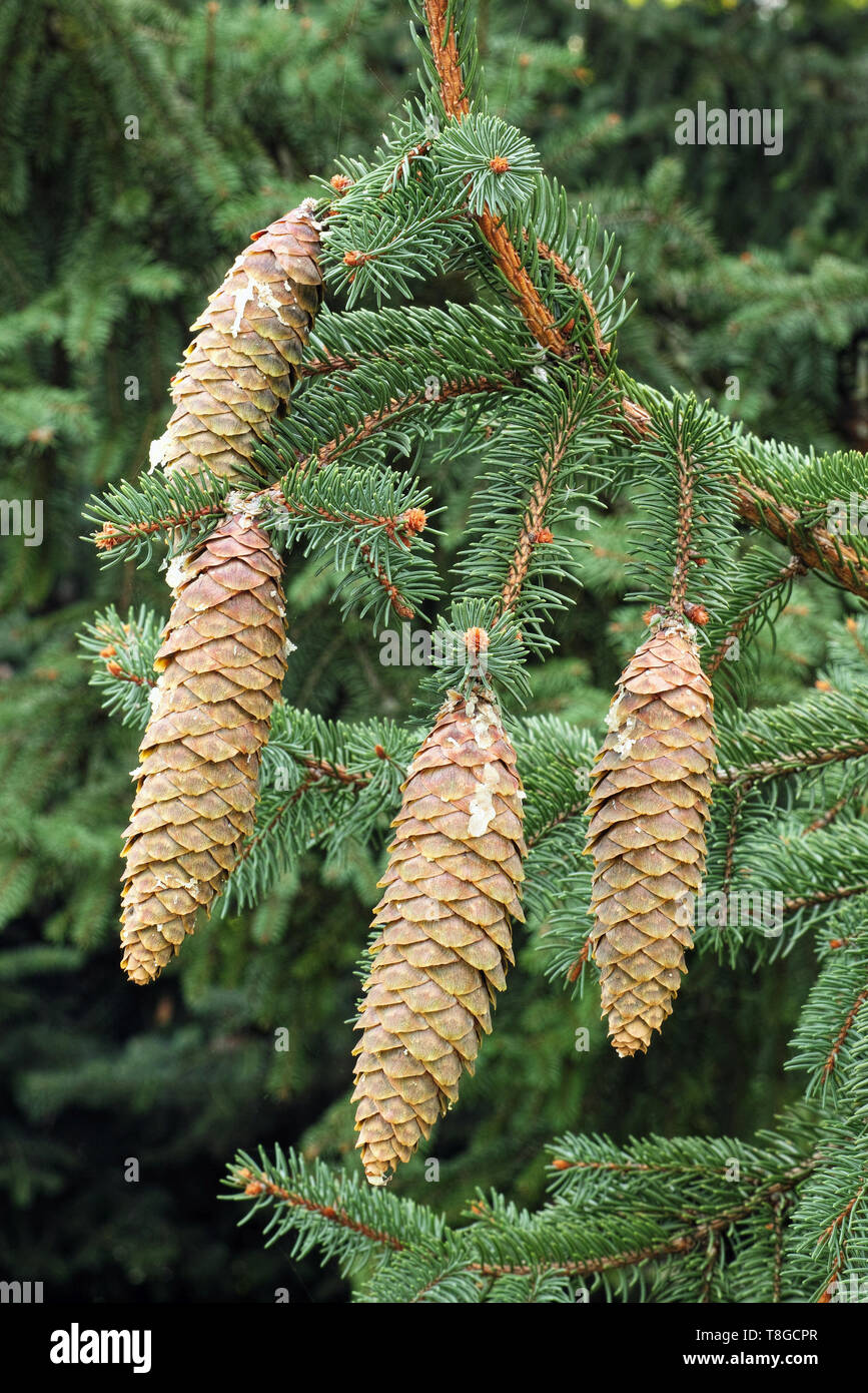 cones and leaves of norway spruce Stock Photo