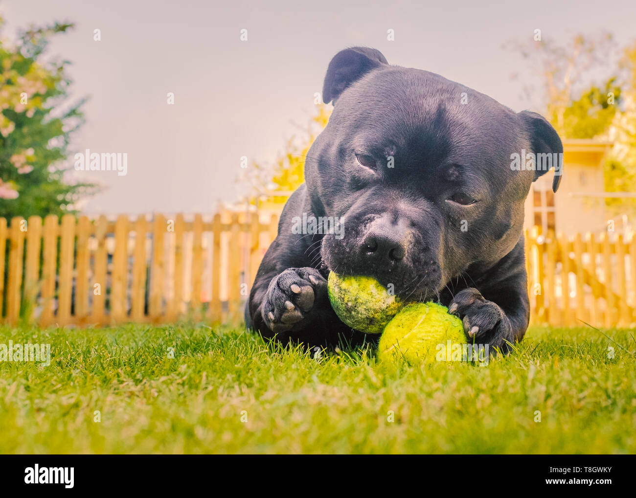 Adorable black handsome Staffordshire Bull Terrier dog lying on grass chewing two tennis balls. There is a picket fence and sky behind him. - Stock Image
