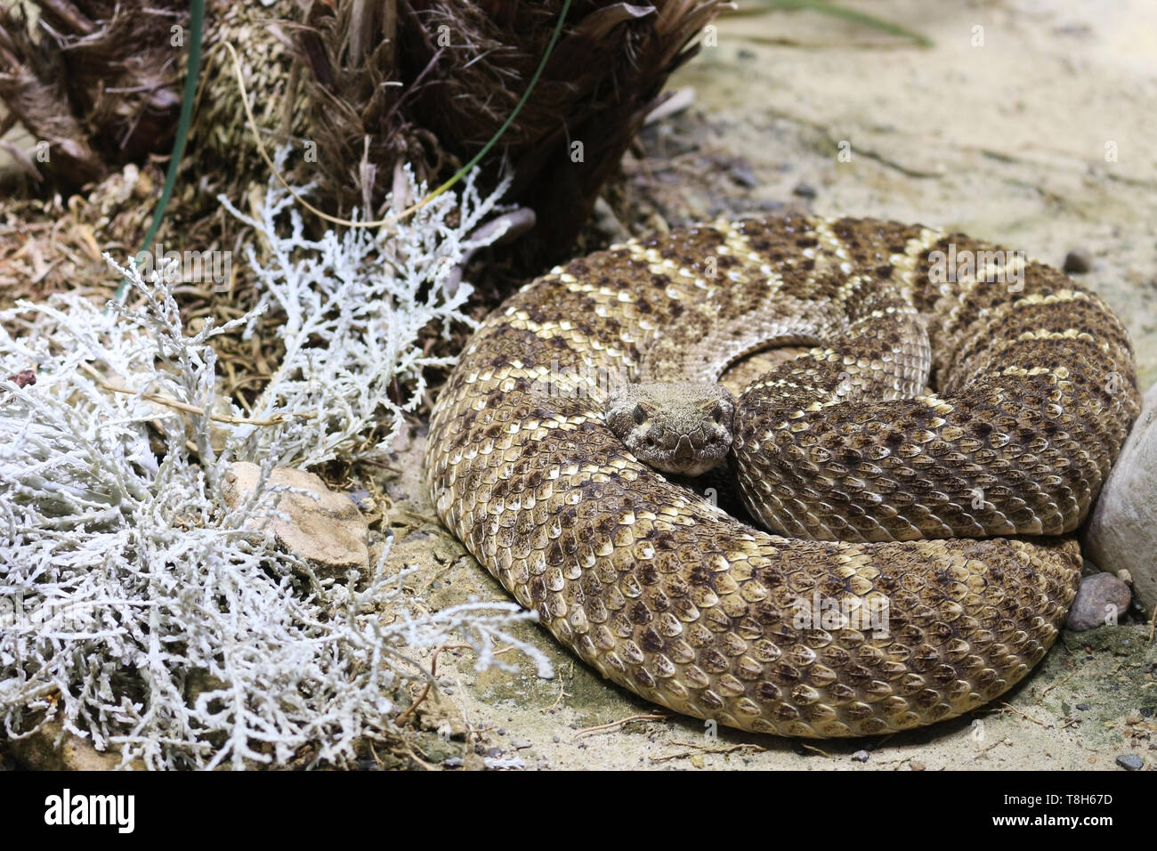 The rattlesnake possesses a neurotoxic venom, which acts on the nervous system and causes the victim to have difficulty in locomotion and breathing - Stock Image