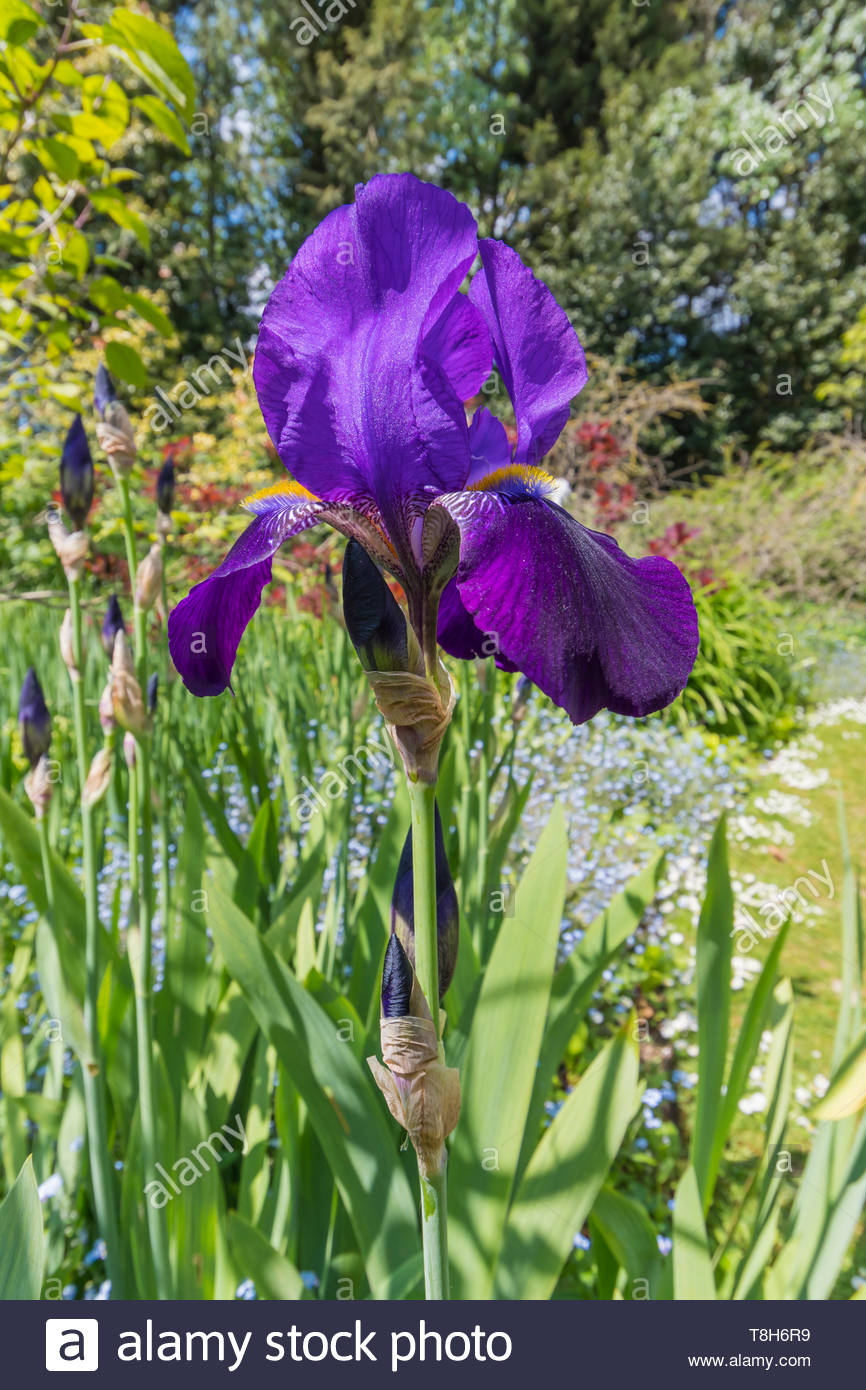 Bearded Iris (Iris germanica), deep purple or violet colours, very large Irises in a garden in Spring (May) in West Sussex, UK. Portrait. Vertical. - Stock Image