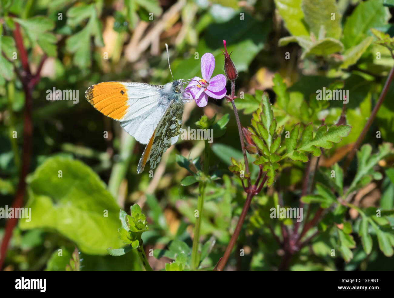 Male Orange tip butterfly (Orange tipped butterfly, Anthocharis cardamines) sitting on a pink flower in a garden in Spring (May) in West Sussex, UK. Stock Photo