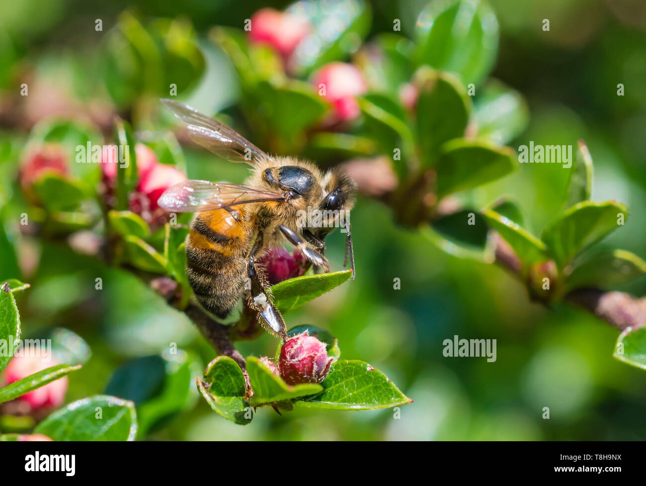 Western Honey Bee (Apis mellifera), AKA European Honey Bee, on a plant with red buds in Spring (May) in West Sussex, England, UK. - Stock Image