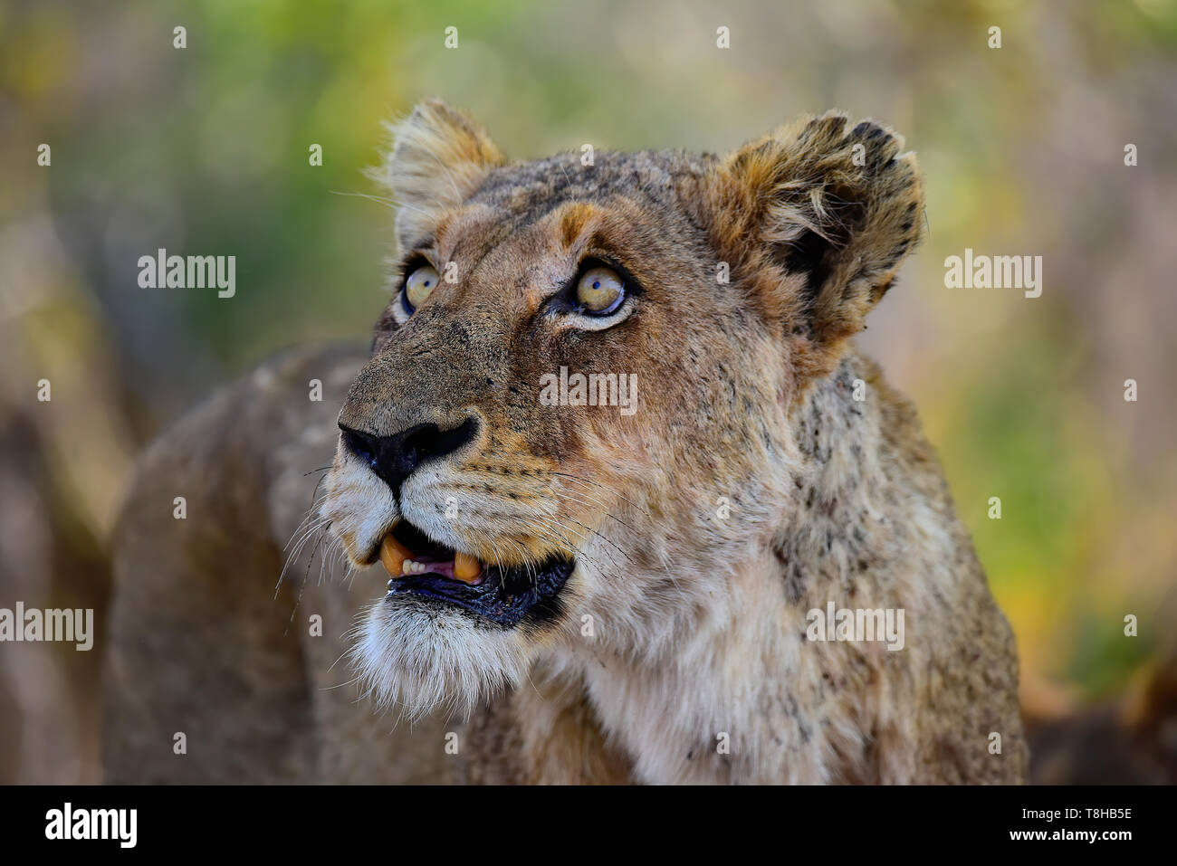 Lioness Panthera Leo staring at Vervet Monkeys Kruger National Park South Africa - Stock Image