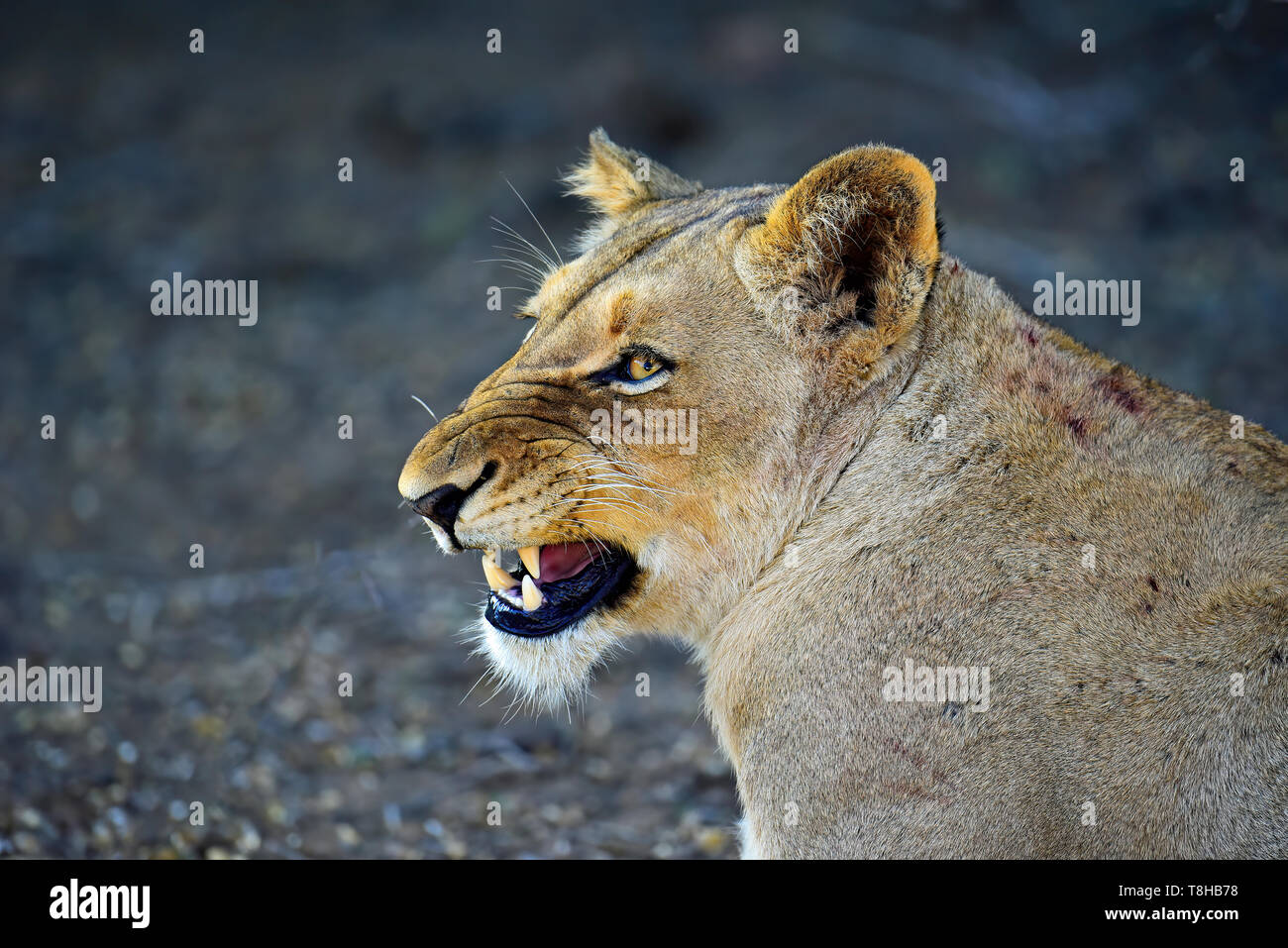 Lioness Panthera Leo snarling at other pride members Kruger National Park South Africa - Stock Image