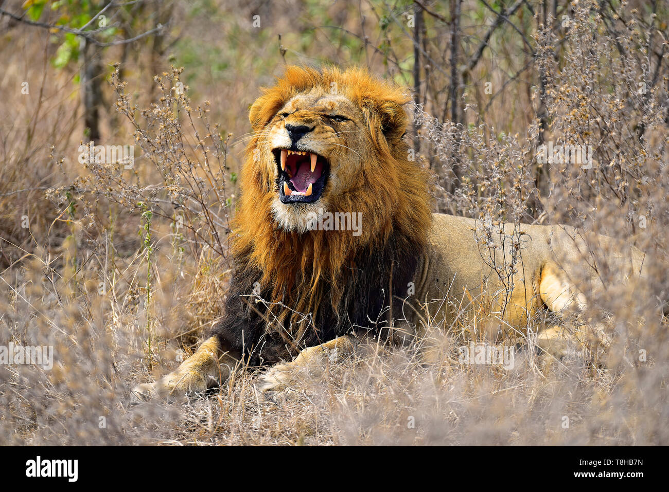 Lion Dark Maned Panthera Leo snarling in the Savanna Kruger National Park South Africa - Stock Image