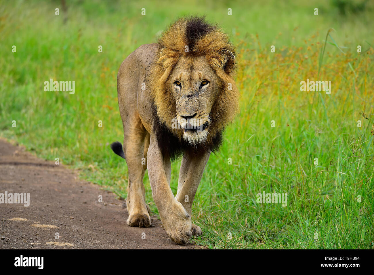 Mature Male Lion Panthera Leo Patrolling his territory Kruger National Park South Africa - Stock Image