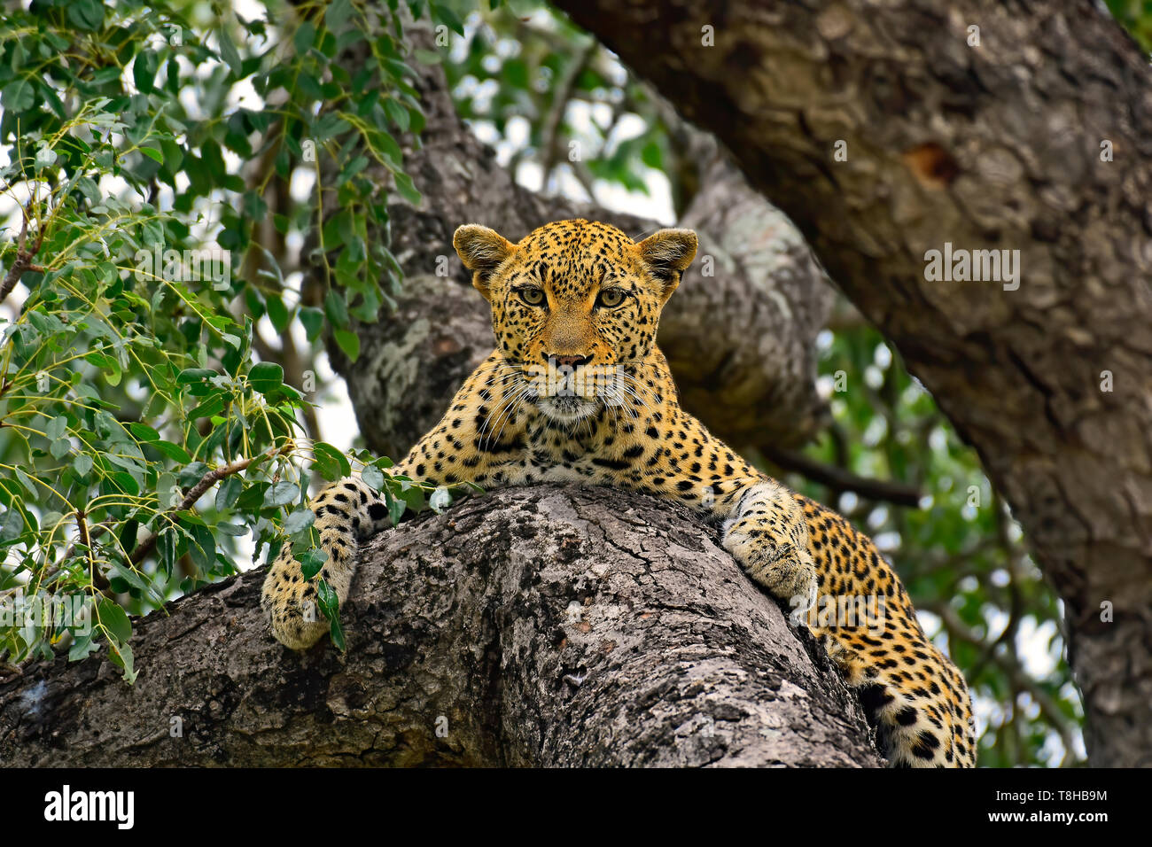 Inquisitive Leopard Panthera Pardus resting in tree Kruger National Park, South Africa - Stock Image