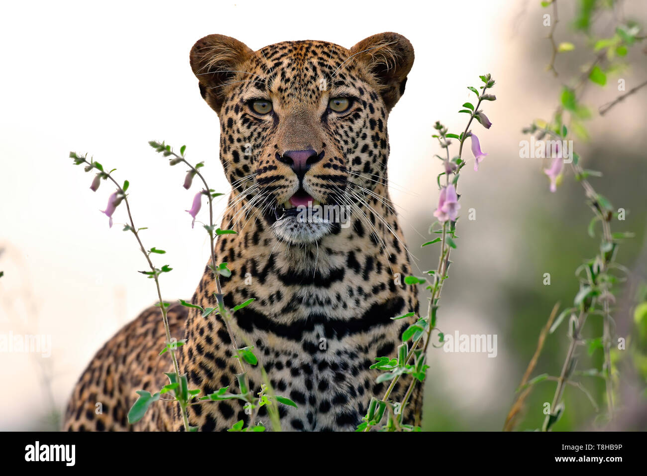 Leopard Panthera Pardus hunting in veld Kruger National Park, South Africa - Stock Image