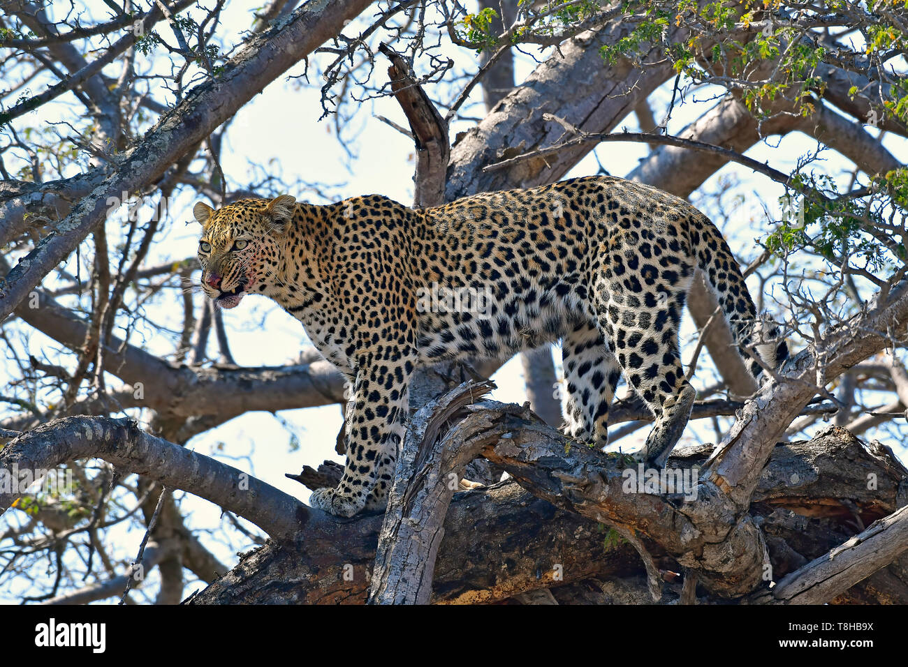 Bloodied Leopard Panthera Pardus protecting kill in Tree Kruger National Park, South Africa - Stock Image