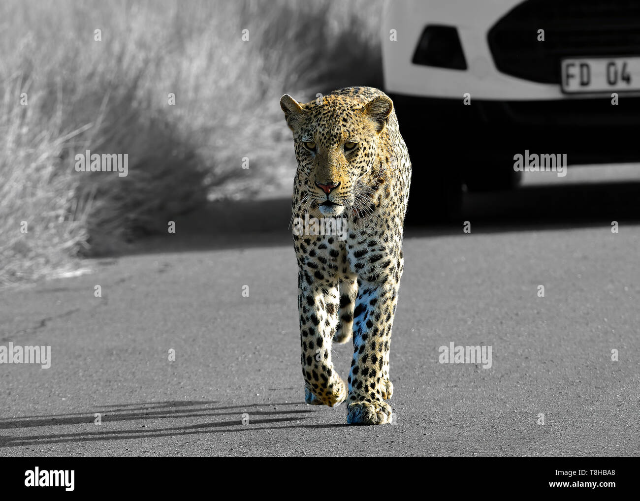 Leopard Panthera Pardus patrolling territory Kruger National Park, South Africa - Stock Image