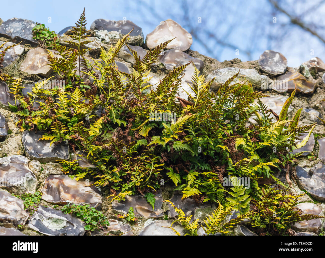 Polypody ferns (Polypodium fern, Polypodies, Rockcap ferns) growing out of an old stone wall in Winter (February) in West Sussex, England, UK. - Stock Image