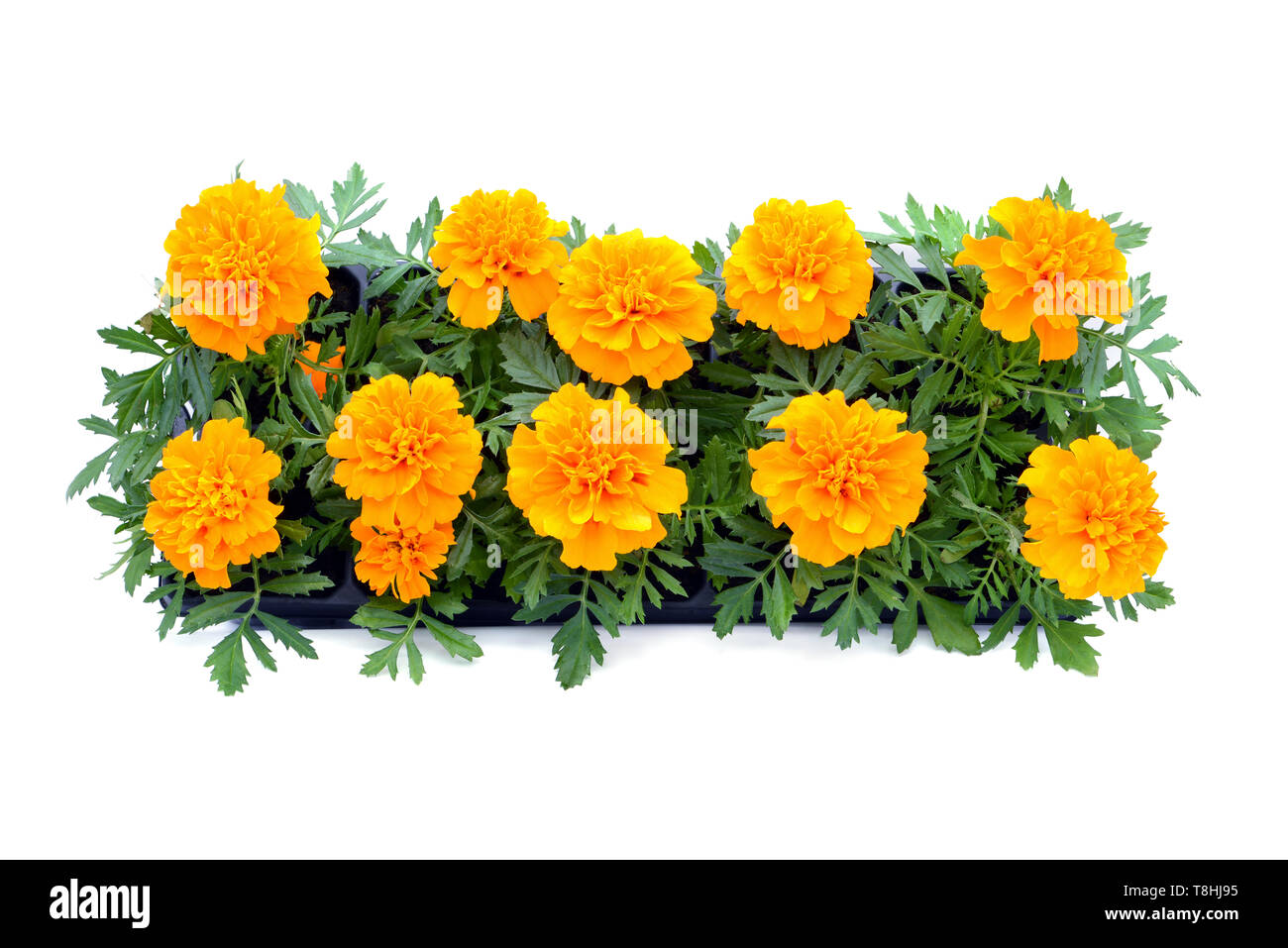 Tagetes flower tray box on white isolated background. top view. Stock Photo