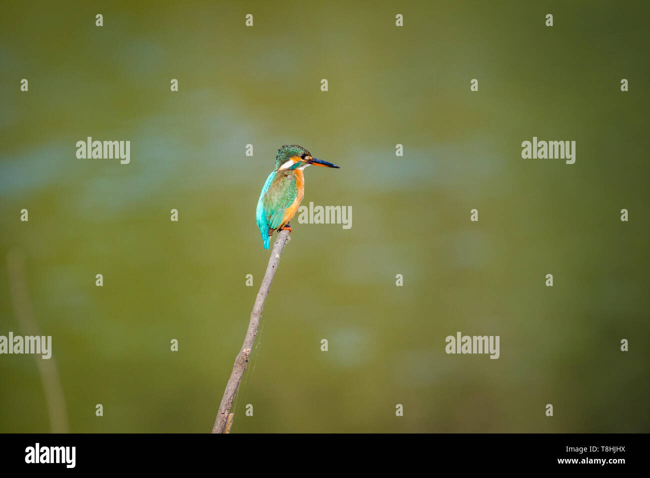 A common kingfisher or Alcedo atthis sitting on a beautiful perch with green background at keoladeo national park, bharatpur, india - Stock Image