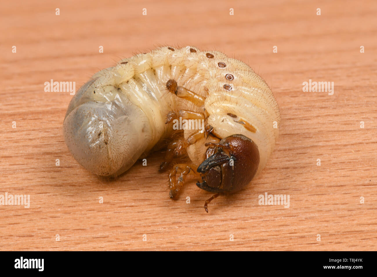 The Larvae Of The Rhinoceros Beetle Oryctes Nasicornis