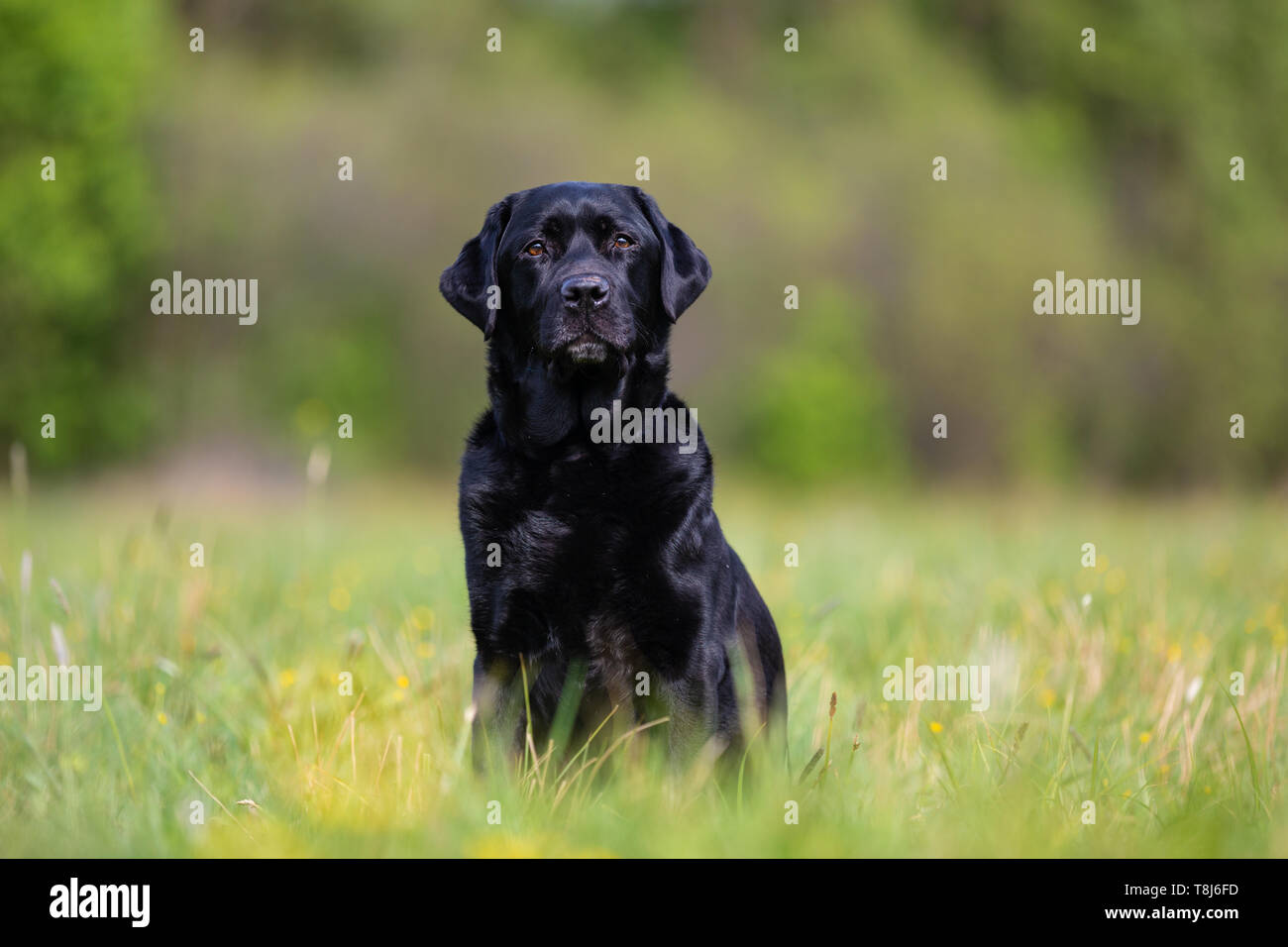Black Labrador Retriever on a spring meadow - Stock Image