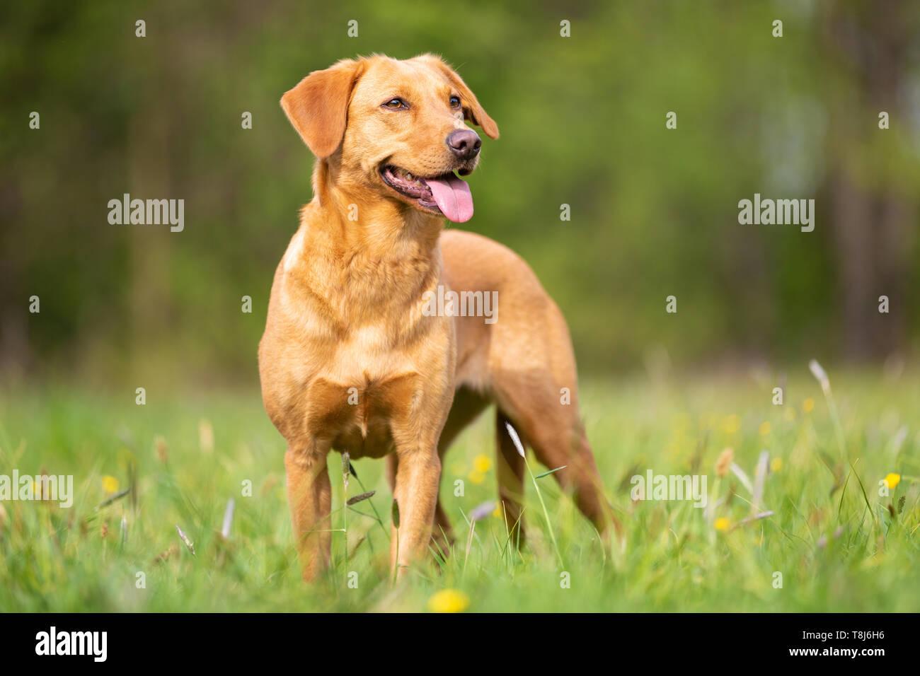A bright Labrador Retriever with a working line. - Stock Image