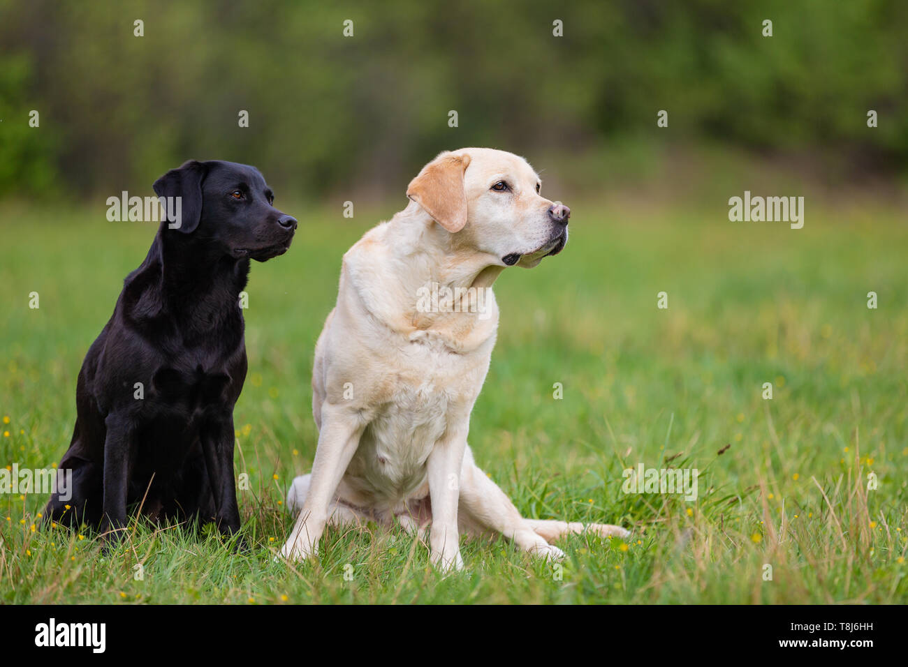 Two Labradors Retriver on a spring meadow. Small depth of field - Stock Image
