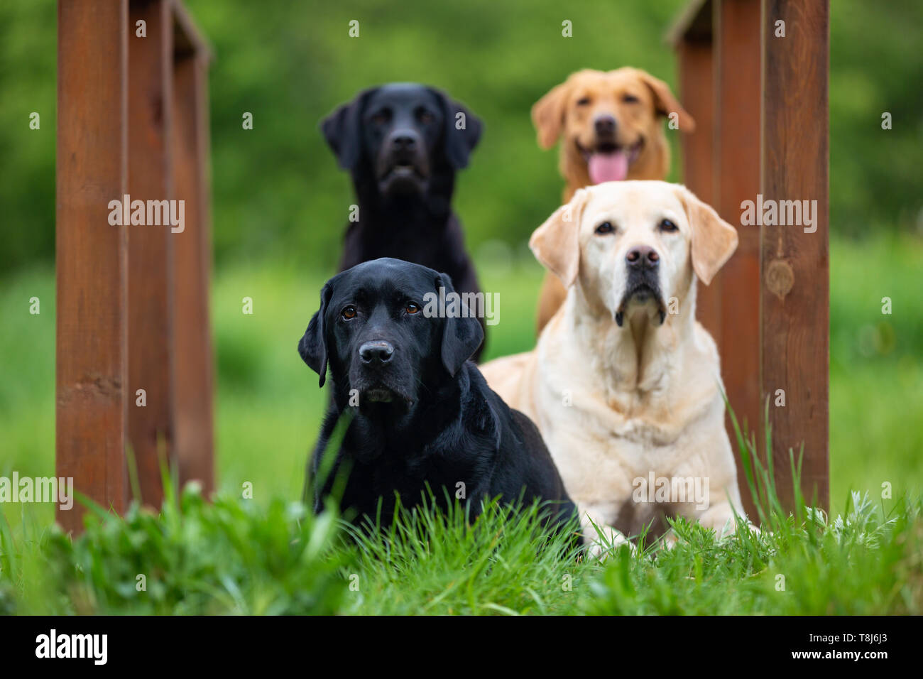 Four Labradors Retriver on a spring meadow. Small depth of field - Stock Image