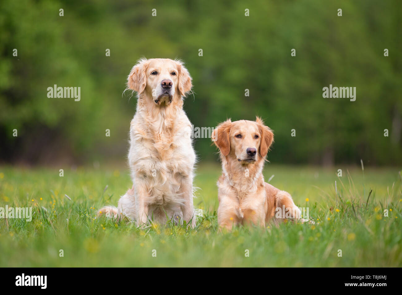 Two Golden Retrivers on a spring meadow. Small depth of field - Stock Image