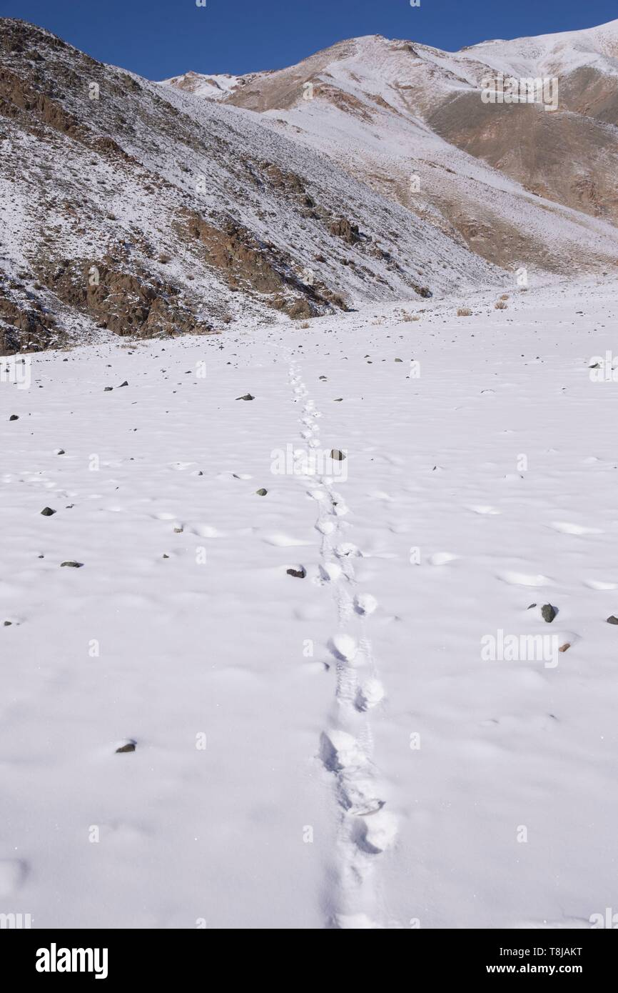 Mongolia, West Mongolia, Altai mountains, Snow leopard or ounce (Panthera uncia), tracks in the snow - Stock Image