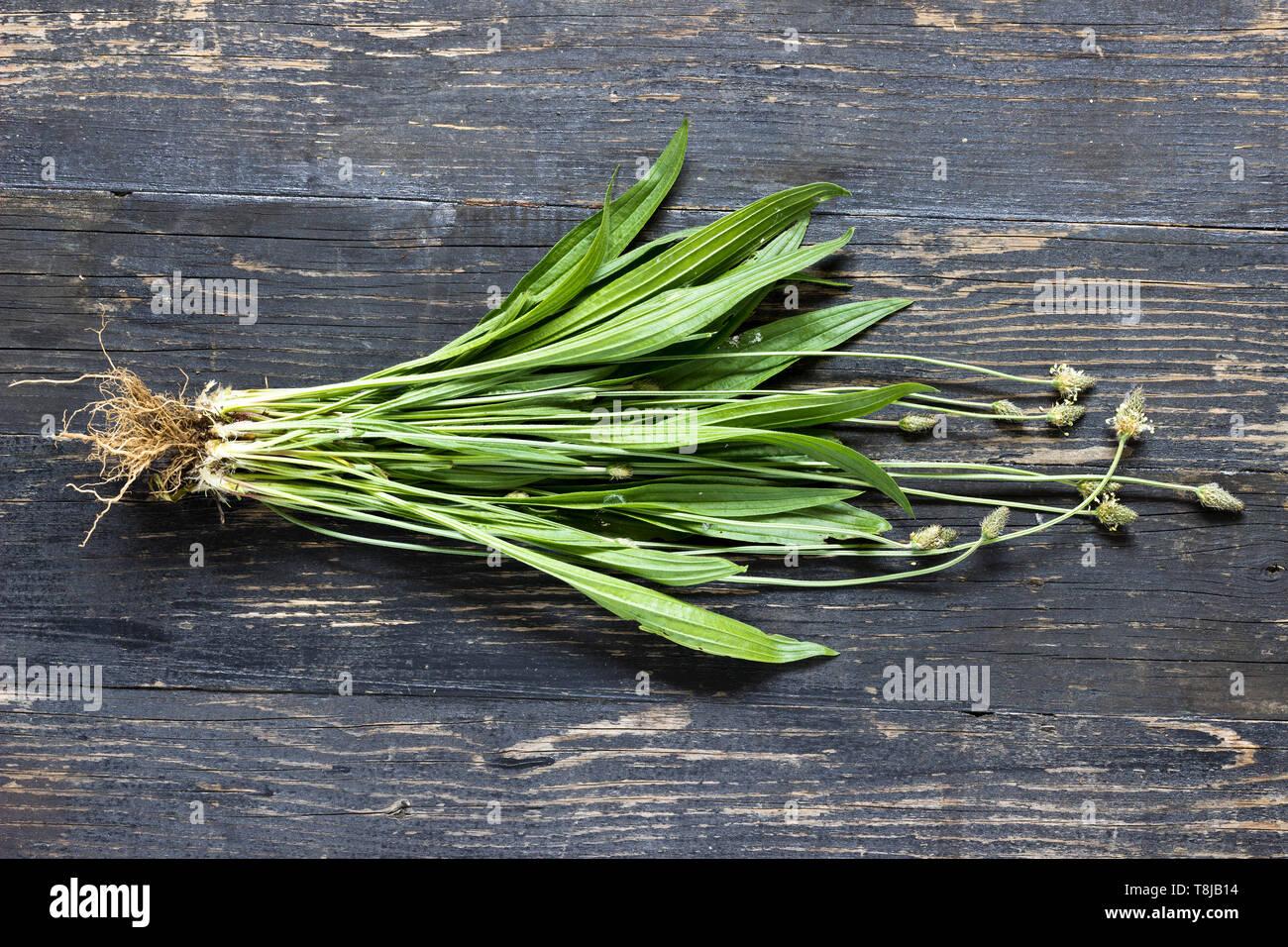 Whole plant ribwort plantain - (Plantago Lanceolata) on a wooden background - Stock Image