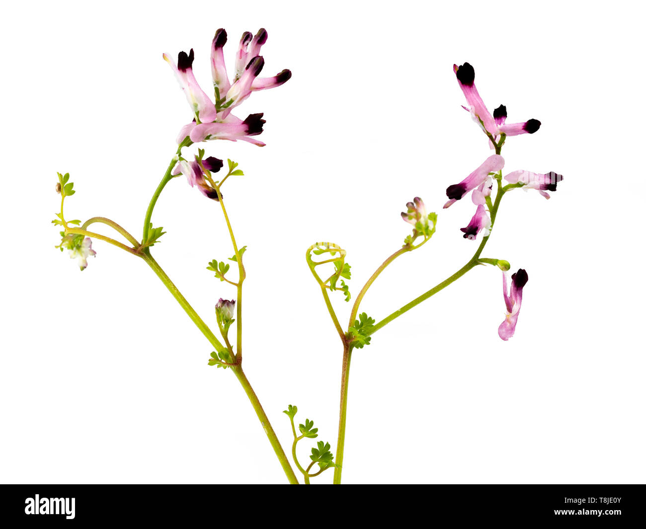 Delicate maroon tipped white flowers of the UK wildflower and annual weed, common ramping-fumitory, Fumaria muralis, against a white background - Stock Image
