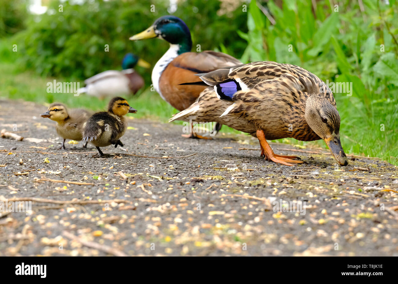 Mallard Duck parents foraging for food with their two Ducklings in an English garden - Stock Image