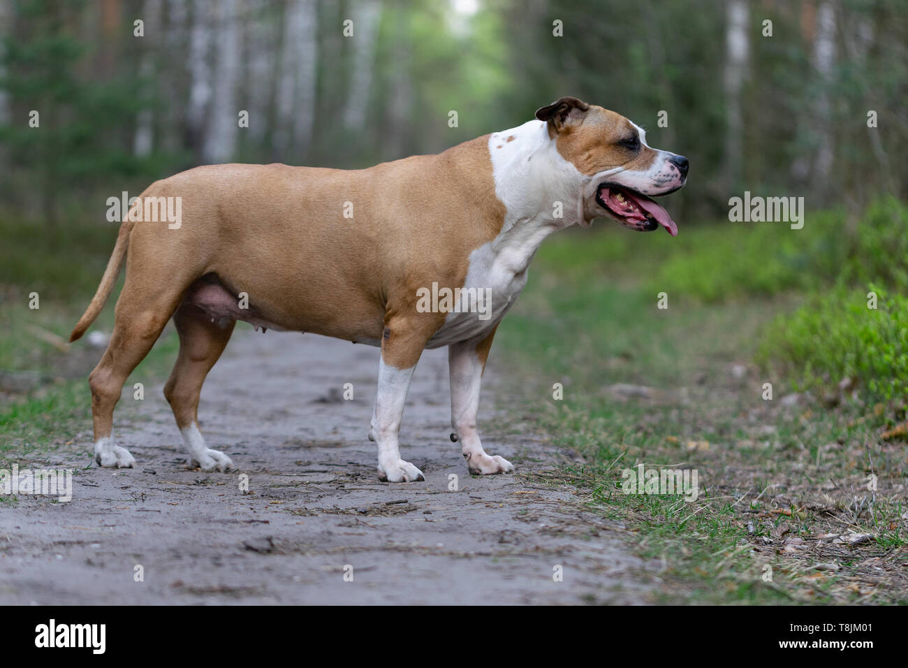 Amstaff is playing in the forest in a sunny spring day. The dog poses for the picture. - Stock Image
