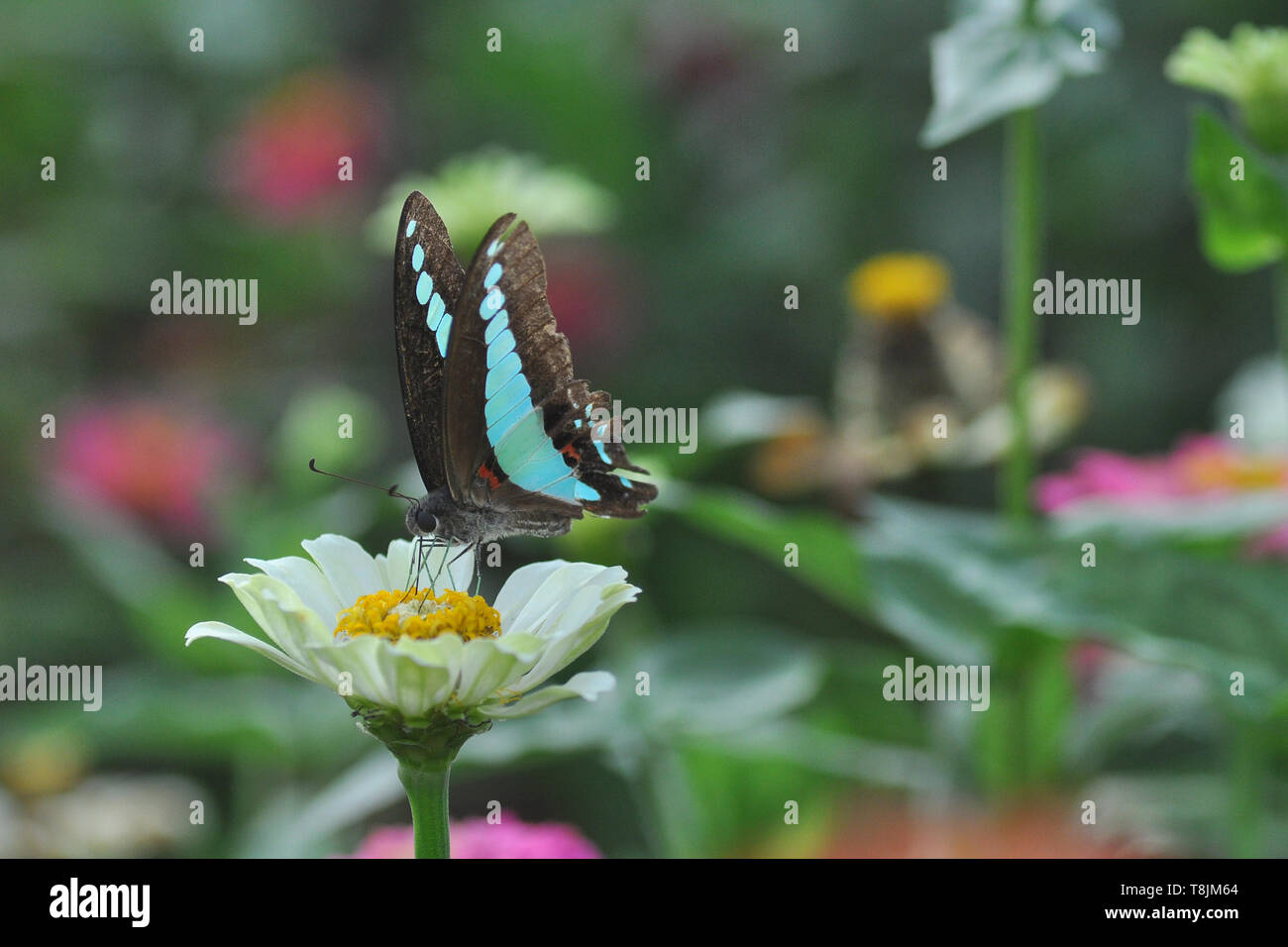 butterfly on zinnia flower with blur bokeh background Stock Photo